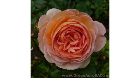 Роза английская Абрахам Дэрби