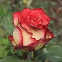 Роза Эквадор Абсурда