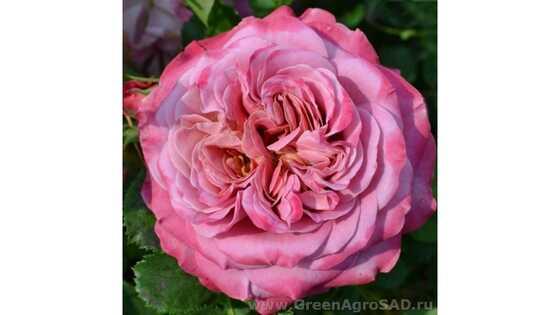 Роза кустовая Агнес Шиллингер