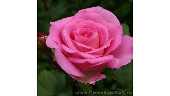 Роза чайно гибридная Аква