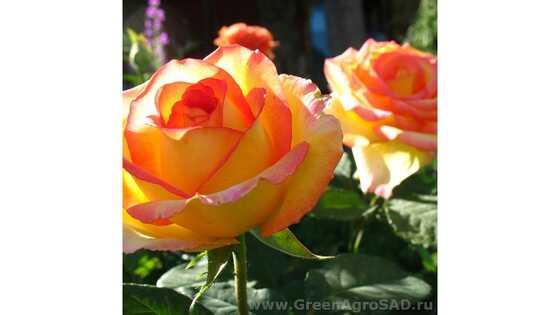 Роза чайно гибридная Амбианс