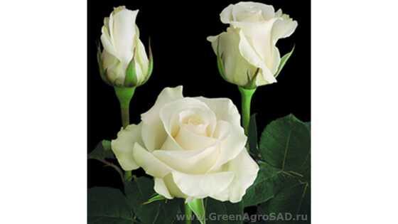 Роза чайно гибридная Амелия