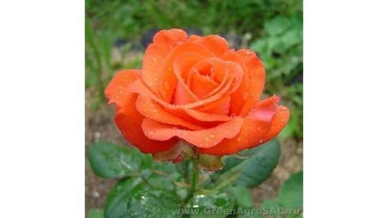 Роза чайно гибридная Анжелика