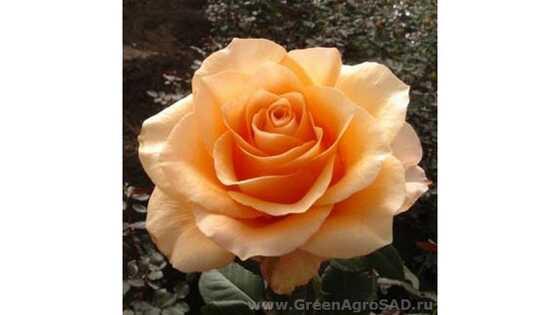 Роза чайно гибридная Априкот