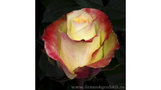Роза чайно гибридная Аубэйд