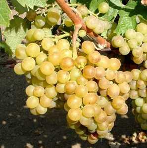 Виноград Аврора