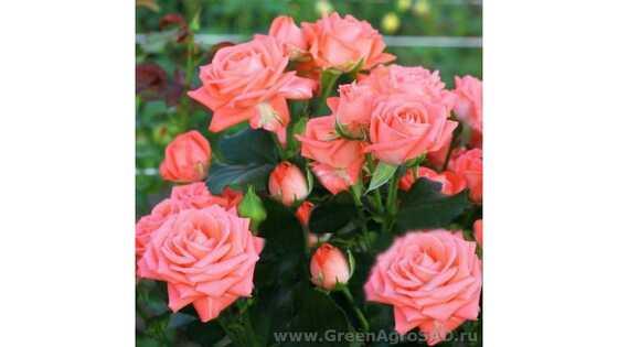Роза чайно гибридная Барбадос