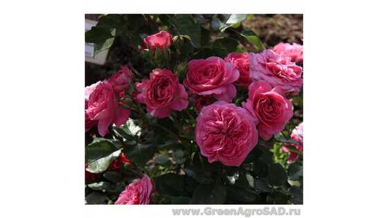 Роза чайно гибридная Баронесса