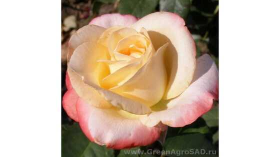 Роза чайно гибридная Бель Перль