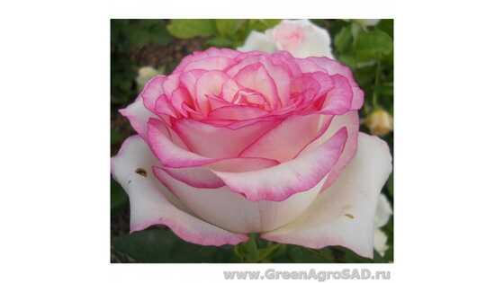 Роза чайно гибридная Белла Вита