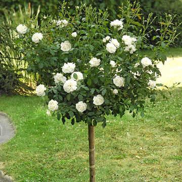 Роза штамбовая белая Фис Клайм