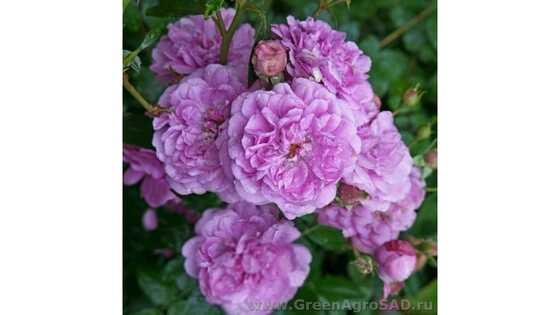 Роза кустовая Блю Бой