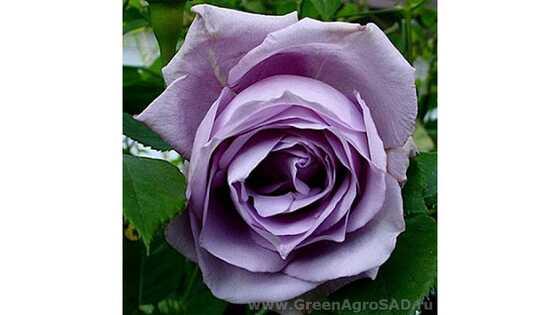 Роза чайно гибридная Блю Парфюм