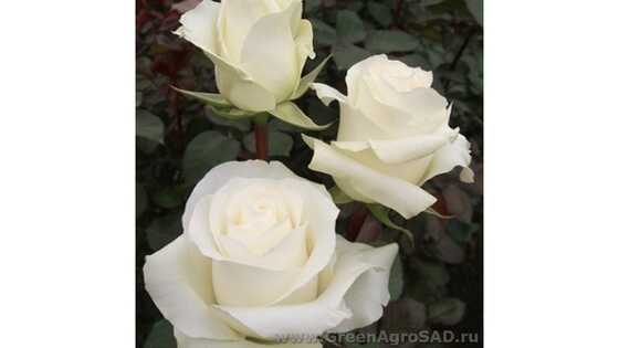 Роза чайно гибридная Боинг