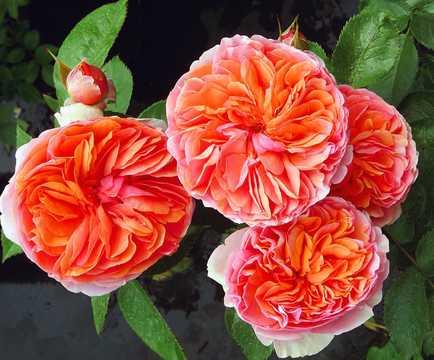 Роза Чип и Деил