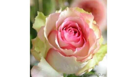 Роза чайно гибридная Дансинг Квин
