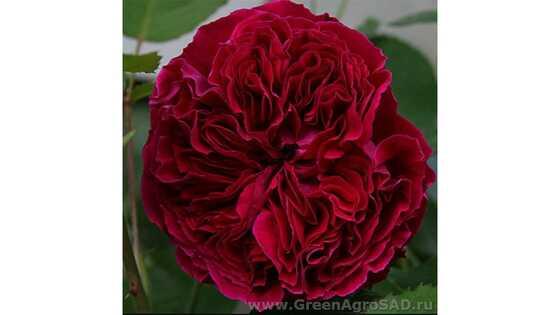 Роза английская Дарк Леди