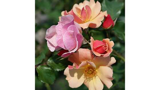 Роза почвопокровная Джаз
