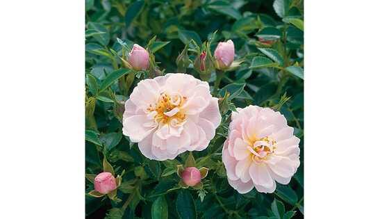 Роза почвопокровная Джентл Кавер