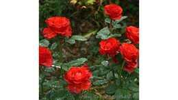 Роза чайно гибридная Эль Торо