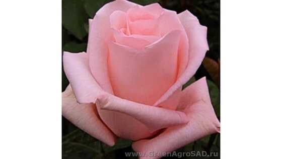 Роза чайно гибридная Энгажемент