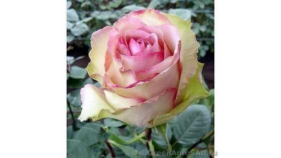 Роза чайно гибридная Эсперанса