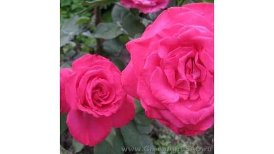 Роза чайно гибридная Ева