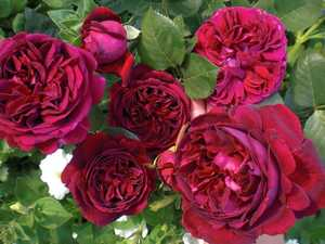 Роза Фальстаф