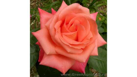 Роза чайно гибридная Фольклор