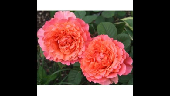 Роза чайно гибридная Френези