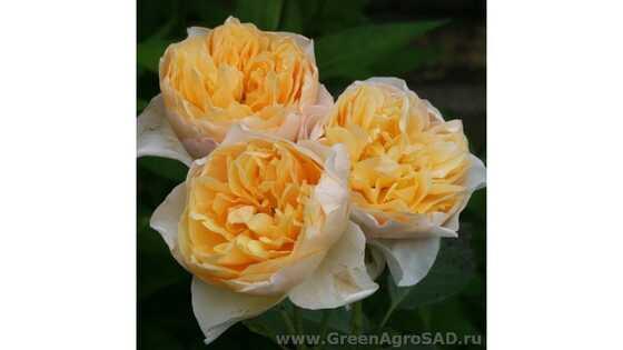 Роза плетистая Годен Флис