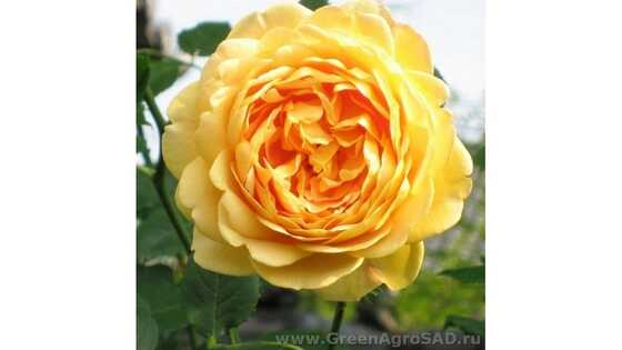 Роза английская Голден Селебрейшен