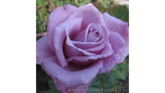 Роза чайно гибридная Голубой нил