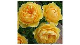Роза английская Грэхэм Томас