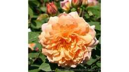 Роза английская Грейс
