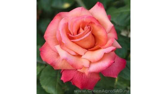 Роза чайно гибридная Христофор Колумб