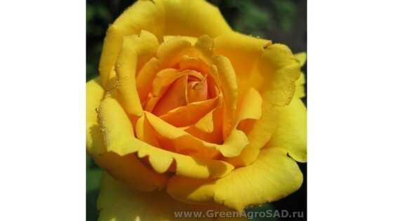 Роза чайно гибридная Илиос