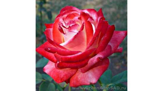 Роза чайно гибридная Императрица Фарах