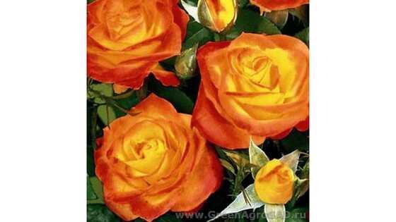 Роза чайно гибридная Ирида