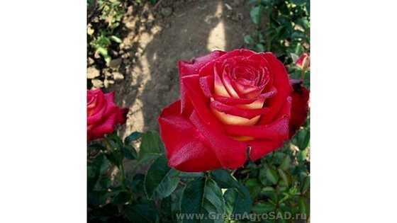 Роза чайно гибридная Кассандра