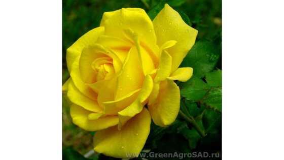 Роза чайно гибридная Керио