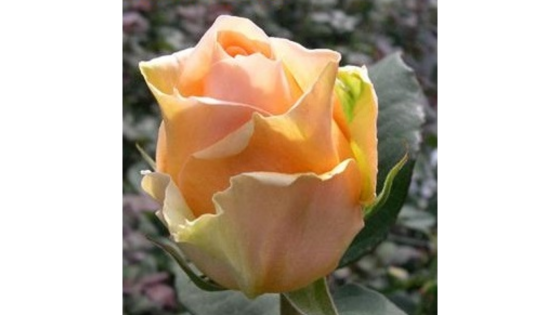Роза чайно гибридная Кингс Прайд