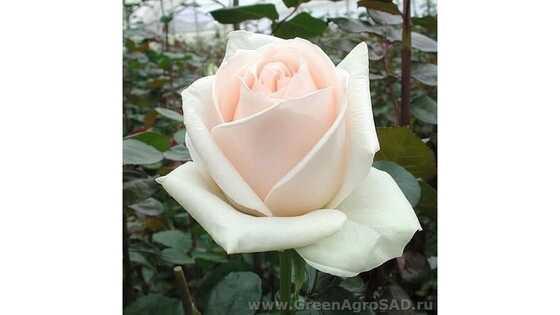Роза чайно гибридная Клер Оушен