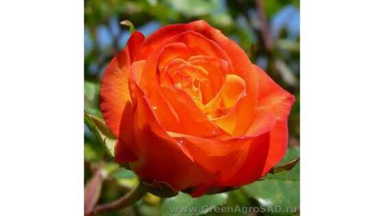 Роза чайно гибридная Конфети