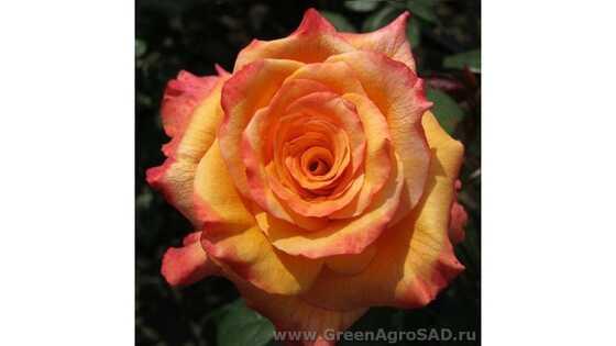 Роза чайно гибридная Конго