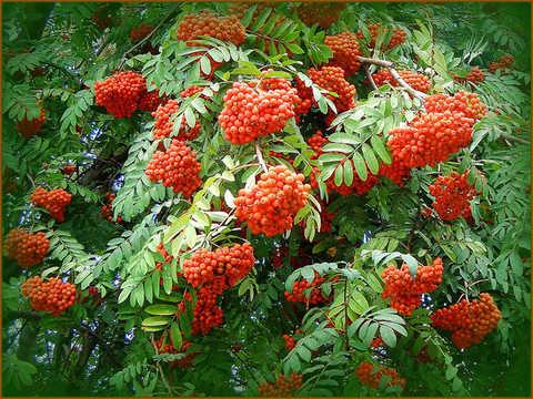 Рябина садовая Красавица