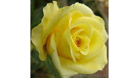 Роза чайно гибридная Кронос