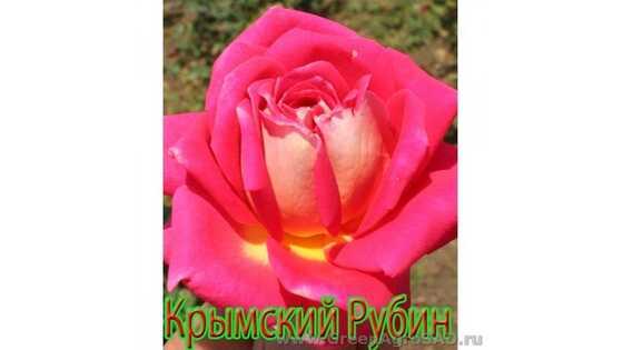 Роза чайно гибридная Крымский рубин