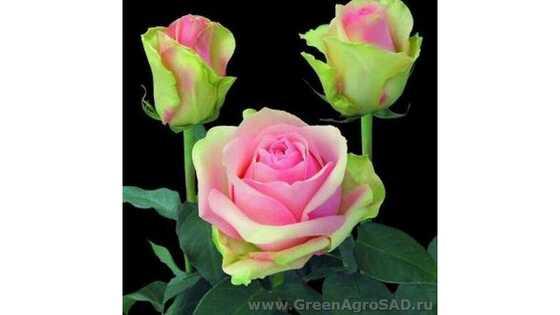 Роза чайно гибридная Ла Бэль