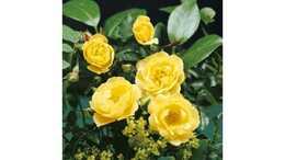 Роза почвопокровная Лаймесголд